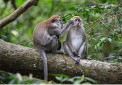 bukit_lawang_monkeys