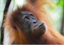 orangutan_close_up