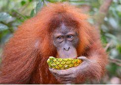 orangutan_drinking