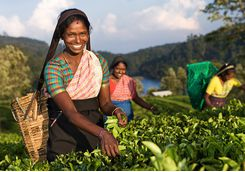 tea-picking-girls