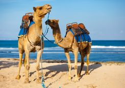 Marrakech camels beach