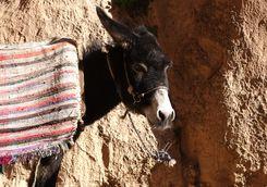 Morocco Atlas donkey