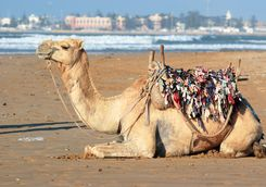 Morocco Essaouira camel