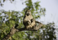 Baboon with child in tree