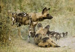 Wild dog and pups