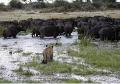 Lion hunting buffalo
