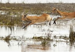 Red lechwe jumping through water