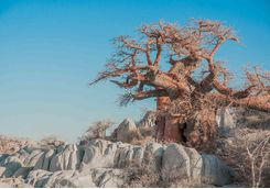 Baobab tree in the Makgadikgadi Pans