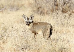 Bat eared fox in the Kalahari
