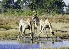 Giraffe drinking at watering hole