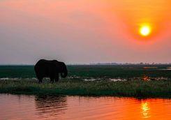 Elephant at sunset on the Zambezi River
