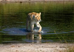 Lion coming out of water