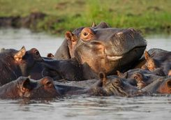 Hippos together in water