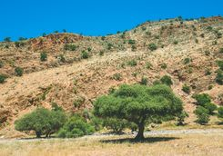 Argan tree in the valley