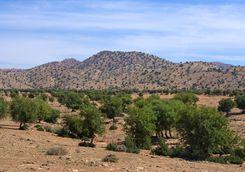 Argan trees in Moroccan landscape