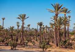 Palm groves outside Marrakech