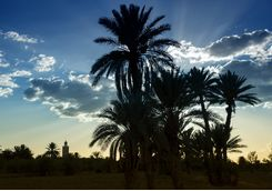 Palmgroves at sunrise