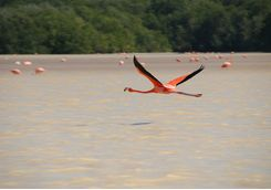 Flamingo flying over the water