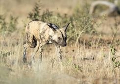 Wild Dog in Namibia