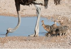 Ostrich and Chicks Drinking