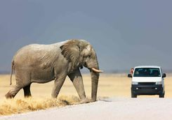 Elephant Crossing The Road in front of 4x4