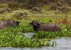 Buffalo in River Reeds