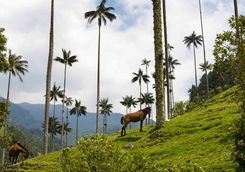 Horses in the Cocora Valley