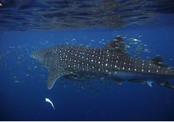 A swimming whale shark