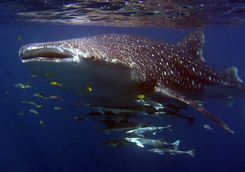 Close up of a whale shark
