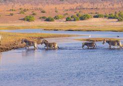 Zebras in the Delta