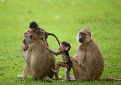 Family of grey monkeys