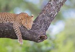 Leopard lounging in a tree