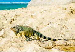 Iguana on the beach