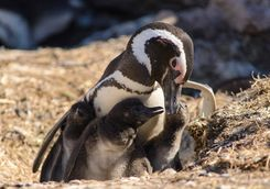 Magellan penguin family