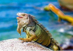 Iguana on a rock