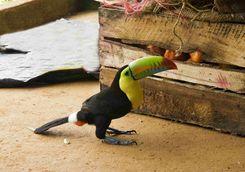 Toucan in Tayrona