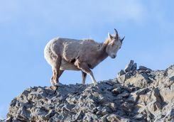 Little bighorn sheep