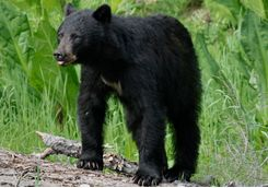 Black bear in the Whistler forest