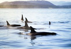 Killer whales in Vancouver