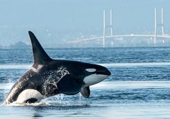 Orca in Vancouver harbour