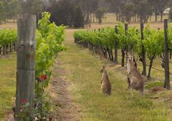 Kangaroos in the Hunter Valley