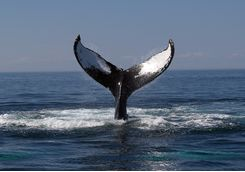 Whale's tail out of the water