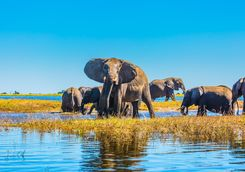 Elephants in the Delta