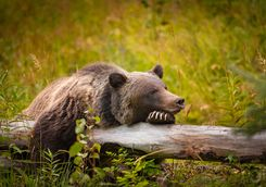 Grizzly bear in Alberta