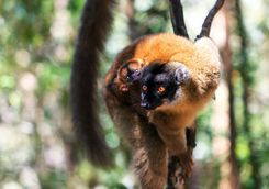 Brown lemur with baby