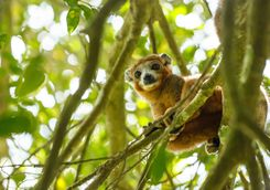 Crowned Lemur in Ankarana National Park