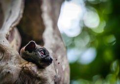 Sportive lemur in Ankarana