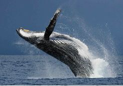 Humpback whale in Madagascar