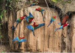 Red and blue birds