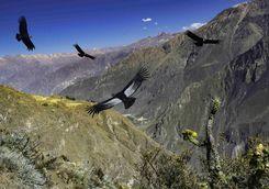 Condors at the Colca Canyon